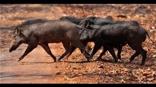 Repeat youtube video Wild Boar Mating - Tadoba