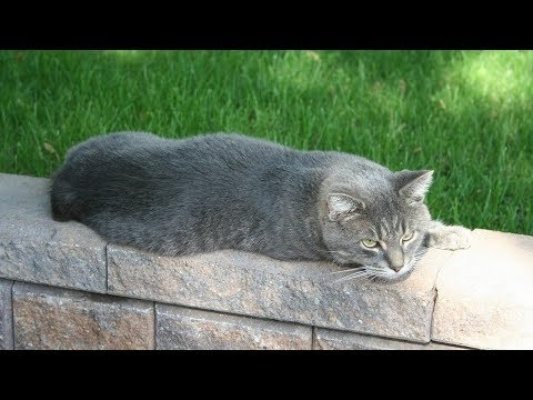 How to Care for Manx Cats - Feeding Your Manx