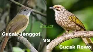 Suara Burung Cucak Jenggot VS Cucak Rowo