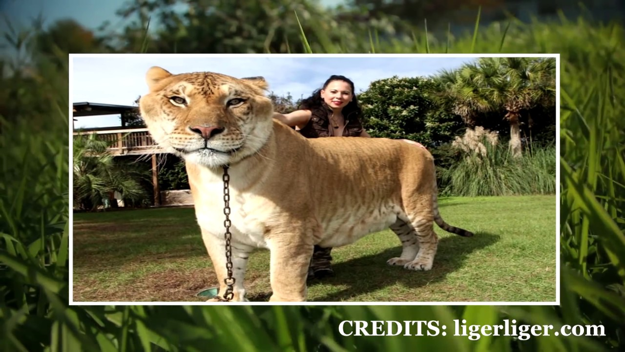 IS IT ETHICAL TO BREED GIANT HYBRID LIGERS AND TIGONS?