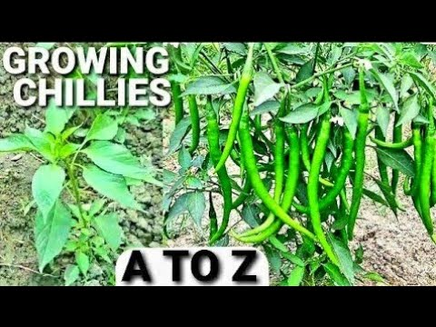 How To Grow Chilli | How To Plant Chili in Open Field From Seeds To Harvest – Complete Growing Guide