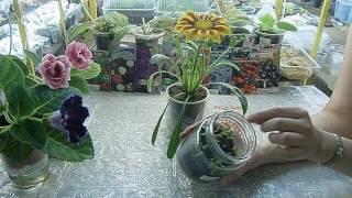 🌱Гацания ! Чудо - цветок я вырастила в домашних условиях !!! Красота 🌱