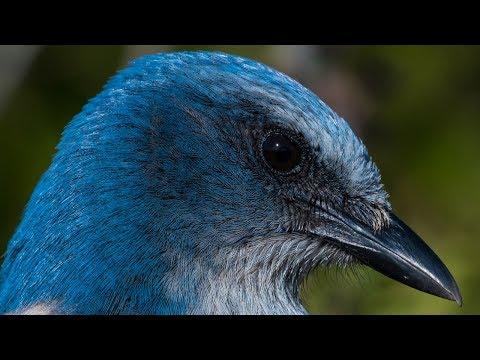 Nikon D850 Captures Incredible Detail - Florida Scrub Jay - Wildlife Bird Photography