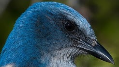 Nikon D850 Captures Incredible Detail - Florida Scrub Jay - Wildlife Bird Photography