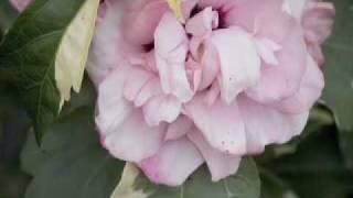 Sugar Tip Hibiscus - Rose of Sharon