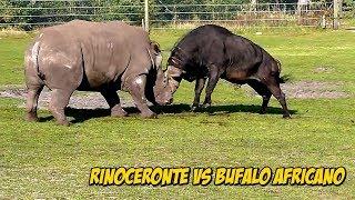 Épica Confrontación: Rinoceronte Vs Búfalo Africano | Buffalo Vs Rhinoceros