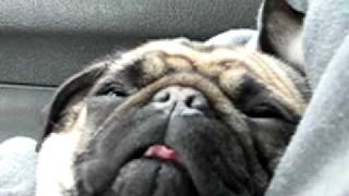 Pregnant Snoring Pug Named Cootchie