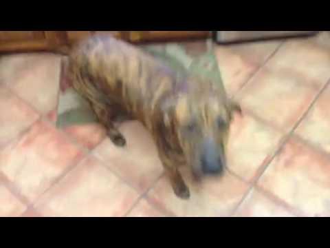 Brindle Hound Dog