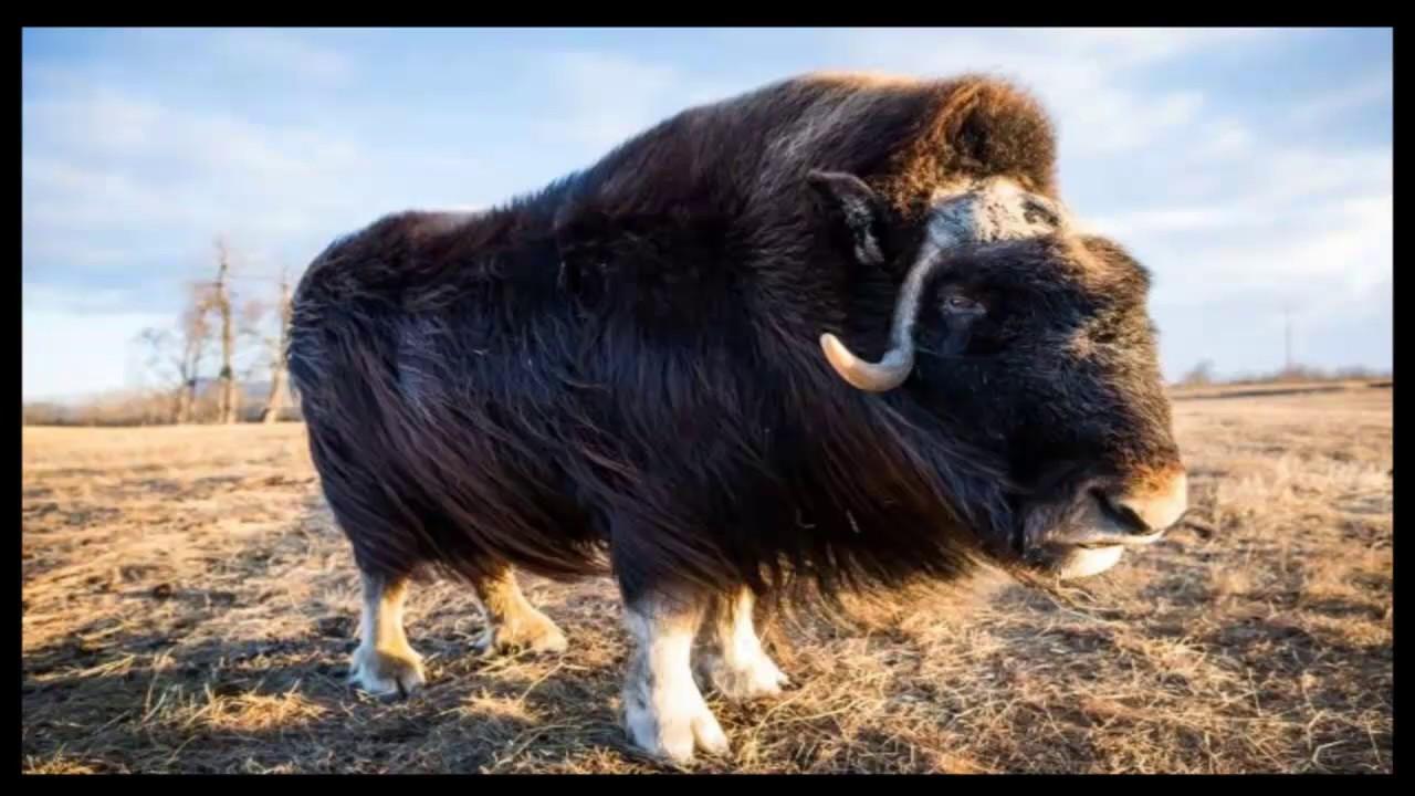 фото бараны и быки необычного внешнего вида