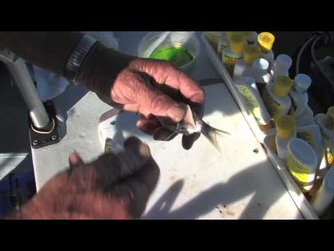 CA Delta Fall Striper Fishing With Barry Canevaro