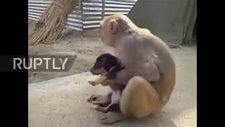 Обезьяна украла щенка и убегает с ним