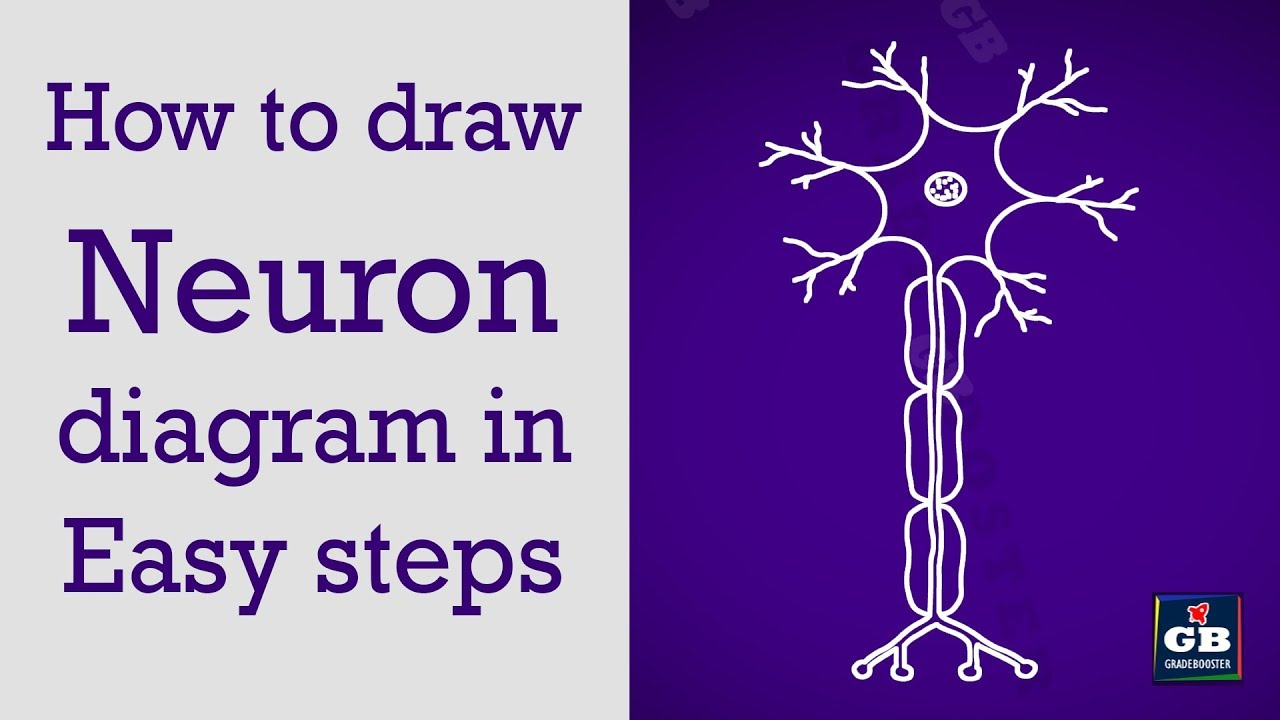 How to draw neuron in easy steps control coordination 10th how to draw neuron in easy steps control coordination 10th biology cbse syllabus ncert science ccuart