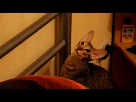 Talking cat  (Oriental shorthair)