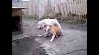 Сука алабай нападает на кобеля. Собаки породы Алабай. . Домашнее видео САО. ч2