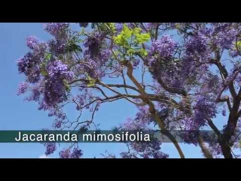 JACARANDA - Jacaranda mimosifolia