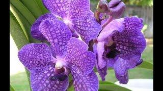 Мой уход за орхидеей Ванда(Правила ухода за орхидеей Ванда. Основы содержания орхидеи Ванда в обычных домашних условиях., 2016-06-16T17:46:13.000Z)