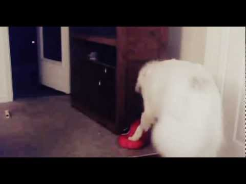 Sadie The Great Pyrenees Plays with UGA Pillow