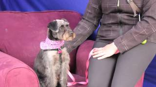 Schnoodle, Molly - June 8, 2013