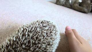 African Pygmy Hedgehog Right Pet You