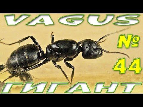 Муравей Чёрный муравей древоточец - Camponotus Vagus