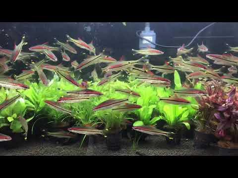 Miss Kerala Fish Aquarium   Puntius Denisonii