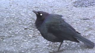 Weird Crazy Brewer's Blackbird - Repeated Beat (Original)
