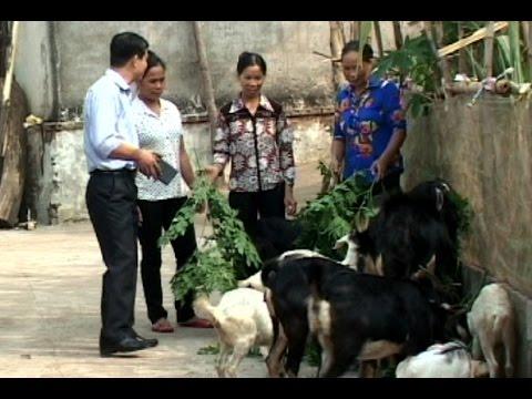 Hiệu quả từ những mô hình chăn nuôi dê ở Thạch Thành