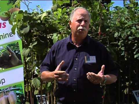 planter et palisser un pied de kiwi de sib rie doovi. Black Bedroom Furniture Sets. Home Design Ideas