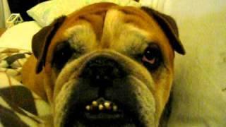 Hugo The Snoring Bulldog