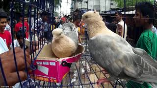 Sua chondon pigeon | সোয়া চন্দন কবুতর | kobutor palon | bengal beauty