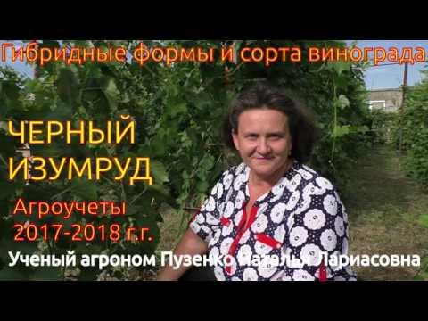 Виноград Черный изумруд (участок Пузенко Натальи Лариасовны)