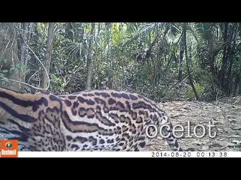 El Jaguar Reserve, Colombia - wildlife caught on camera trap
