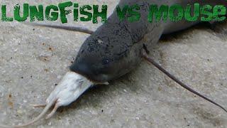 Lungfish vs Frozen Mouse