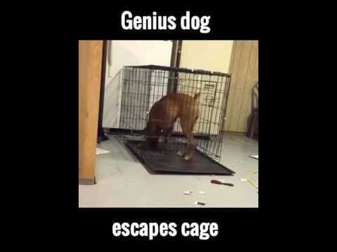 Genius Dog Escapes Cage