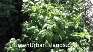 Cutting, Harvesting, Transplanting Basil -- Making Space For A Pvc Hydroponic Garden