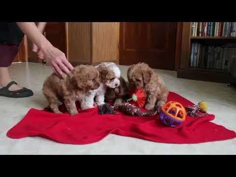 Cavapoo Puppies | FunnyCat TV