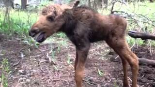 Montana baby moose just before it was shot dead and detonated by US Forest Service