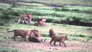 Travel with the Palm Beach Zoo: Lions in Tanzania 2010