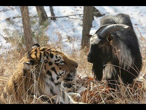 Почему тигр Амур не съел козла Тимура