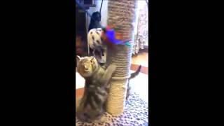 Яркие шоколадные мраморные британские котята - настоящие клубные британцы!