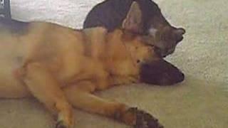Little Kitty Loving A German Shepherd  (in Loving Memory 9/19/03 - 9/23/08)