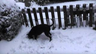 Staffordshire Bull Terrier Playing In Snow