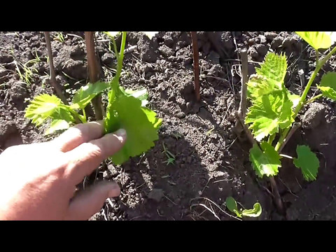 Как растут отводки винограда Лора