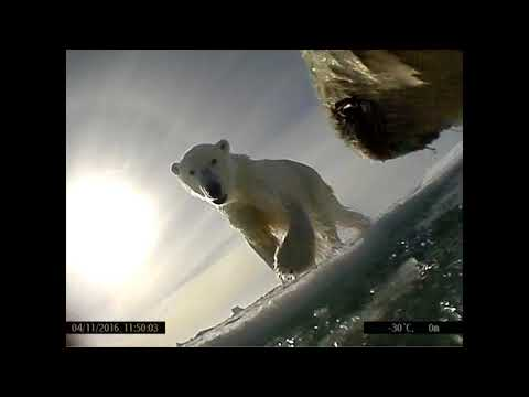 Polar bear POV video from USGS shows hunting, eating of seals