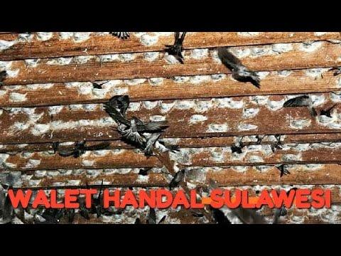 Panen sarang burung walet RBW (rumahan) Sulawesi Tengah