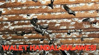 Panen sarang burung walet (rumahan) Tonggolobibi Kabupaten donggala kecamatan sojol Sulawesi Tengah