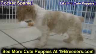Cocker Spaniel, Puppies, For, Sale, In, Charleston, West Virginia, Wv, Williamson, Culloden, Kenova,