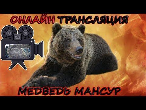 Видео: Медведь Мансур - 3 камеры в эфире