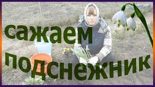 видео Безвременник Фото Растение Безвременник осенний Великолепный цветы