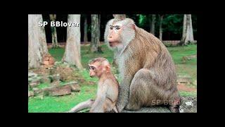 ជីវិតសត្វស្វានៅអង្គធំ - Monkey life in Angkor Thom, Real baby monkey life